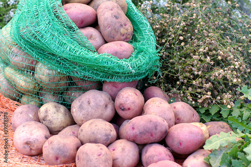tubers of potato in a sack and scattered