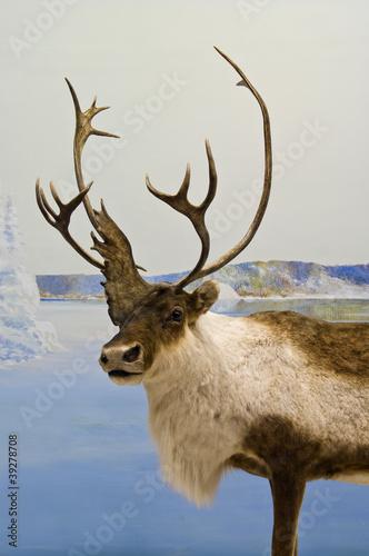 Caribou Closeup