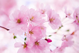 Fototapety Japanese cherry tree in blossom