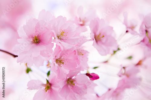 japonska-wisnia-w-kwiat