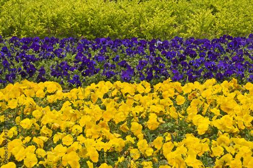 Staande foto Pansies Champs de pensées jaunes et violettes