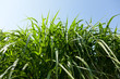 Miscanthus being grown on farm biofuel