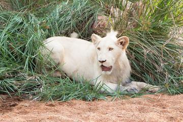Weiße Löwen - die Könige