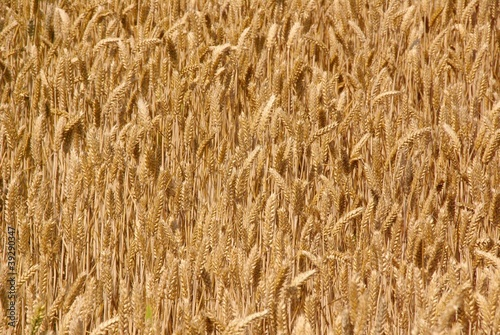 A wheat field in summer