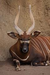 Eastern Bongo - Tragelaphus eurycerus isaaci
