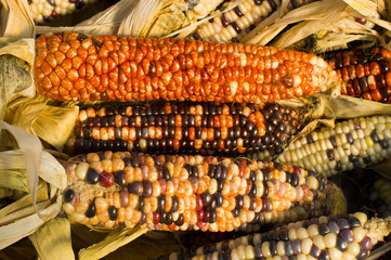 Decorative corn on display at the farmers market