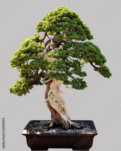 Japanese bonsai tree in pot isolated