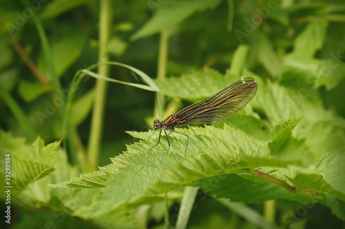 Female Calopteryx virgo on leaves