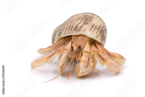 Hermit Crab crawling on white background