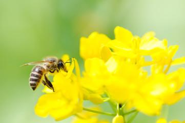蜜蜂と菜の花