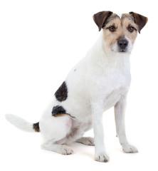 Sitzender Parson Russell Terrier