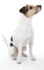 Aufmerksam sitzendender Parson Russell Terrier