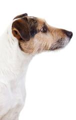 Auhr aufmerksamer Parson Russell Terrier