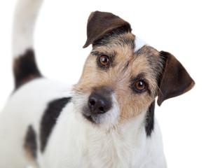 Aufmerksamer Parson Russell Terrier