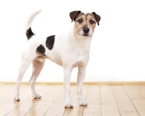 Parson Russell Terrier auf Parkett