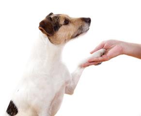 Parson Russell Terrier gibt Pfötchen