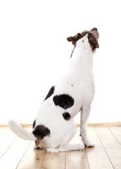 Parson Russell Terrier von hinten