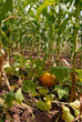 Growing pumpkin in corn
