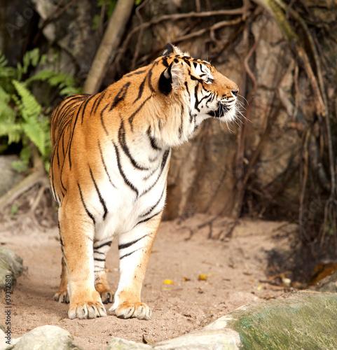 Royal Tygrys bengalski
