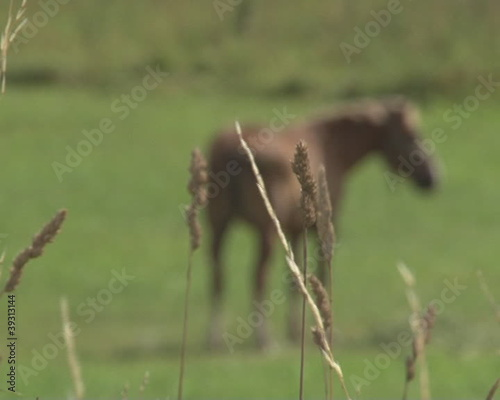 Horse grazing meadow and shriveled sedge defocus. Rural farming