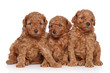 Toy-poodle puppies (30 days) on a white background