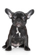 French bulldog puppy sits on a white background
