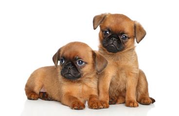 griffon puppies