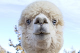 Funny Face of  White Blue-Eyed Alpaca (Vicugna pacos)