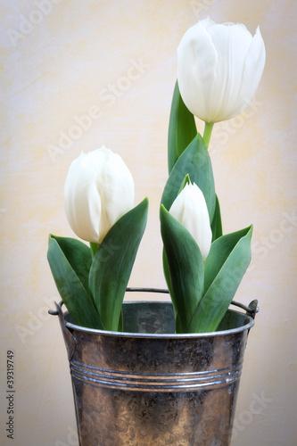weisse tulpen tulipa por eva gruendemann foto royalty. Black Bedroom Furniture Sets. Home Design Ideas