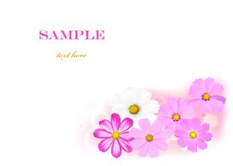 Cosmos bipinnatus flower background isolated on white