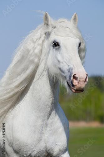 Biały koń pracuje w lecie