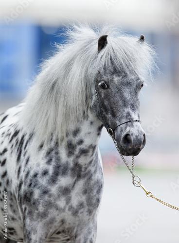Portret konia Appaloosa w lecie