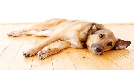 Schäferhund-Mischling mit großen Ohren liegt auf dem Boden