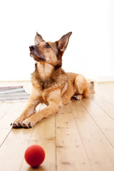 Schäferhund-Mischling mit großen Ohren wartet auf Spielgefährten