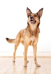 Aufmerksamer Schäferhund-Mischling mit großen Ohren wartet ab