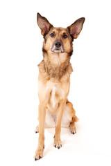 Schäferhund-Mischling mit großen Ohren wartet sitzend