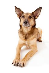 Schäferhund-Mischling mit großen Ohren wartet liegend