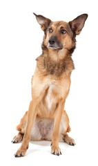 Schäferhund-Mischling mit großen Ohren guckt skeptisch
