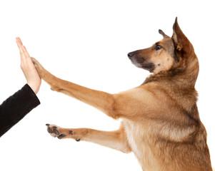 Schäferhund-Mischling mit großen Ohren gibt Pfötchen High-Five