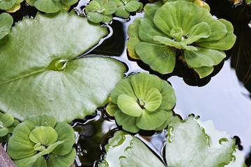 Thailand, Koh Samui (Samui Island), water-lily