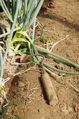Herramienta de campo, planta de cebolla