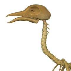 3d render of bird skeleton