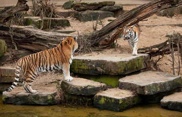 Two siberian tigers just about to fight