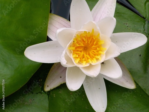 A flowering water lily