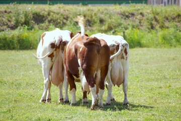 The back side of three red and white cows in a meadow