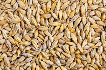 Barley grain (Hordeum)