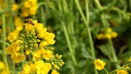 ナノハナと蜂