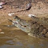 feeding the crocs poster