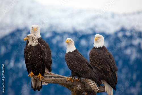 Foto op Canvas Eagle American Bald Eagles