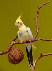 australian cockatiel parrot